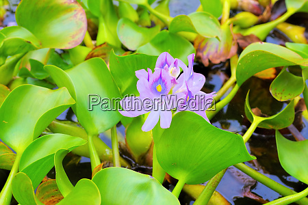 water hyacinth flowers on a pond
