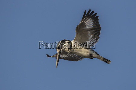pied kingfisher ceryle rudis hovering chobe