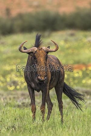 common wildebeest connochaetes taurinus kgalagadi transfrontier