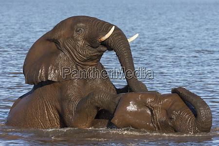 elephant bulls loxodonta africana playing in