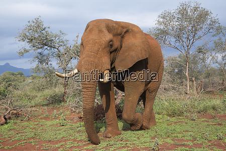 elephant loxodonta africana bull zimanga private