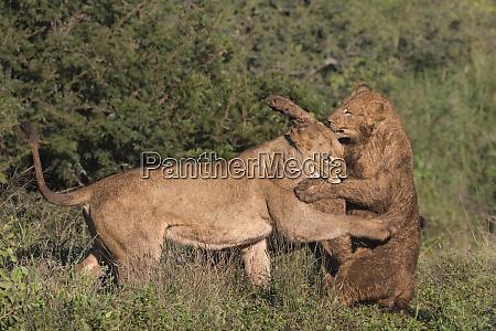 lions panthera leo playfighting zimanga private