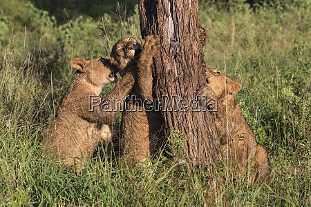 lion panthera leo cubs chewing bark