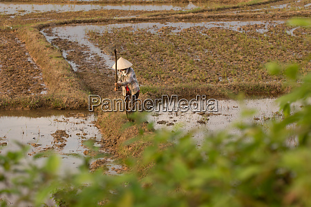 vietnamese planting rice on a rice