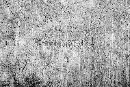 germany birch forest