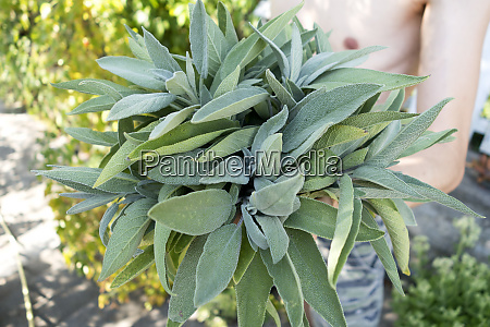 man with harvested sage leaves close