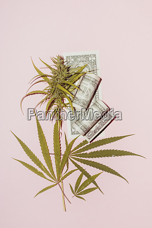 cannabis leaf on pink background concept
