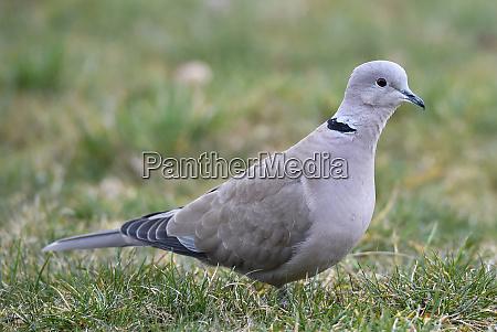 turks pigeon