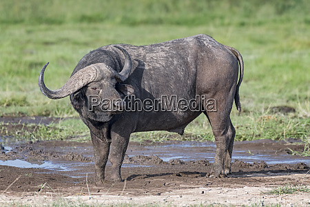 kenya amboseli buffalo 4764