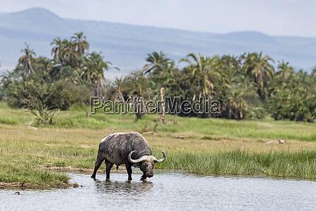 kenya amboseli buffalo 5078