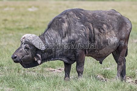 kenya amboseli buffalo 5080