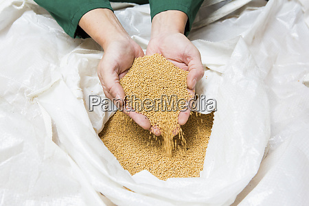 hands scooping mustard seeds from a