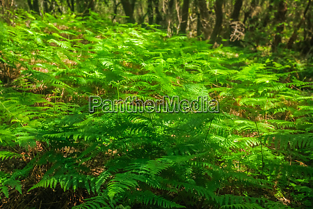lush green fern in garajonay national