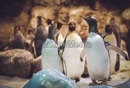 gentoo penguins in the zoo