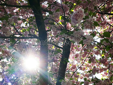 the cherry blossom with sunshine