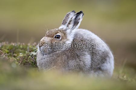 uk scotland mountain hare