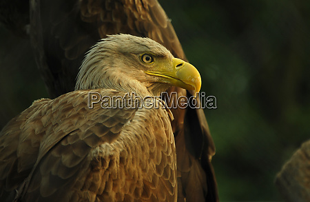 eagle portrait of predator bird