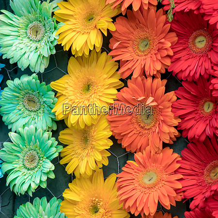 beauty floristic decoration with colorful gerbera