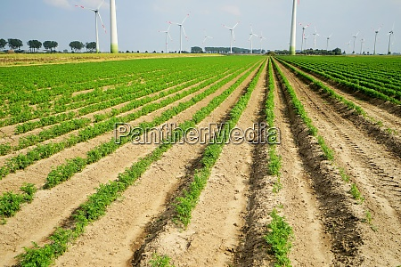 large vegetable field with carrots in