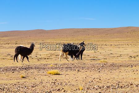 bolivian llama breeding bolivia