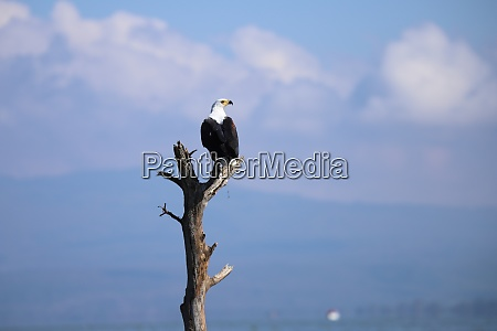 african fish eagle sits on deadwood
