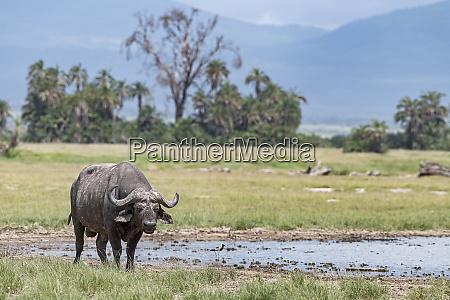 kenya amboseli buffalo 5115
