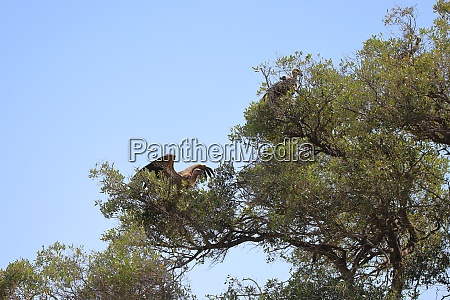 vultures on a tree in the