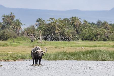 kenya amboseli buffalo 5116