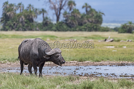 kenya amboseli buffalo 5117