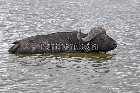 kenya amboseli buffalo 5145