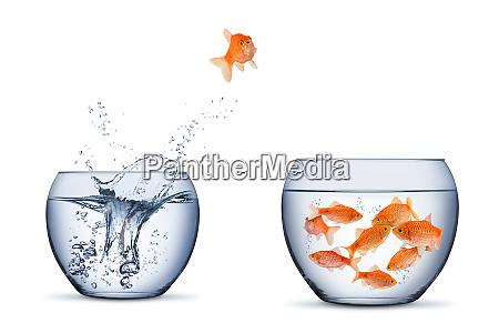 gold fish change move retrun separartion