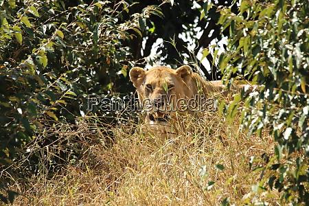 lion between grass an bushes
