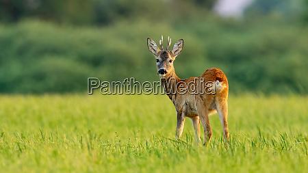 young roe deer buck in summer