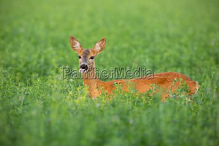 roe deer doe standing out on