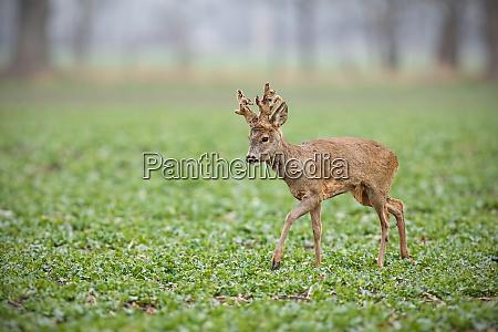 roe deer buck with big antlers