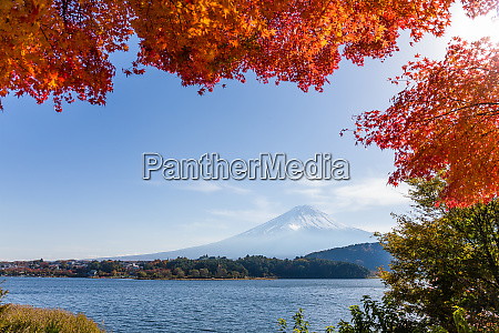 fuji mountain and maple tree