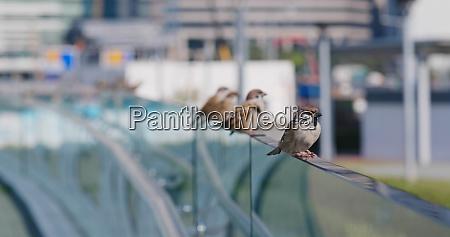 eurasian tree sparrow in city