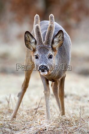 roe deer buck with growing antlers