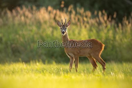 roe deer buck in natural peaceful