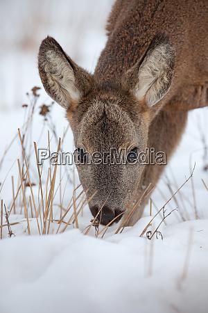 hungry roe deer capreolus capreolus starving