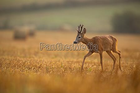 wild roe deer walking on a