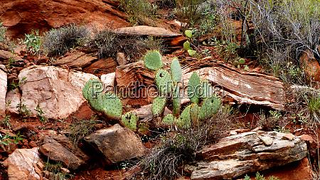 cacti in zion national park