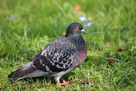 city pigeon columba livia domestica on