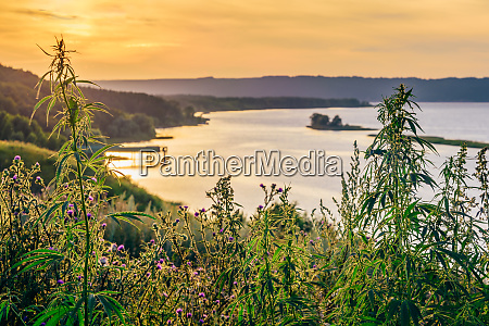 weeds against the river shore