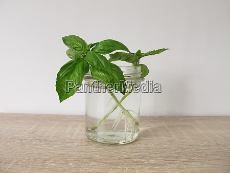 regrow basil in a glass of