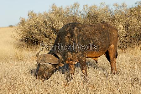 african buffalo grazing in grassland