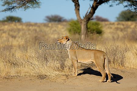 alert lioness in natural habitat