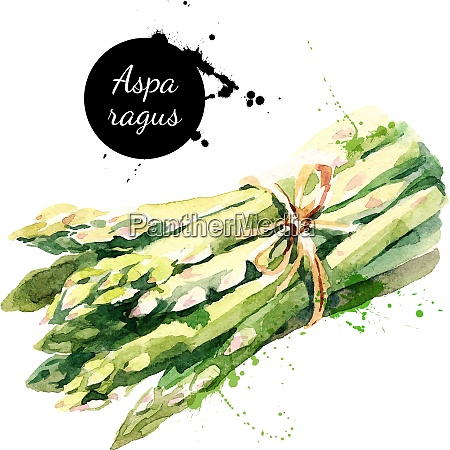 watercolor asparagus isolated eco food illustration