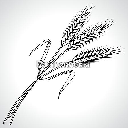 ripe black wheat ears isolated vector