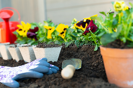 gardening tools and spring pansy flowers